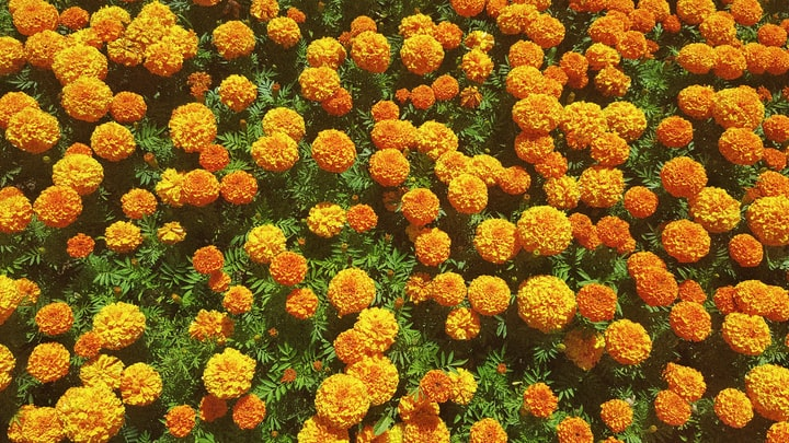 Marigolds are queer