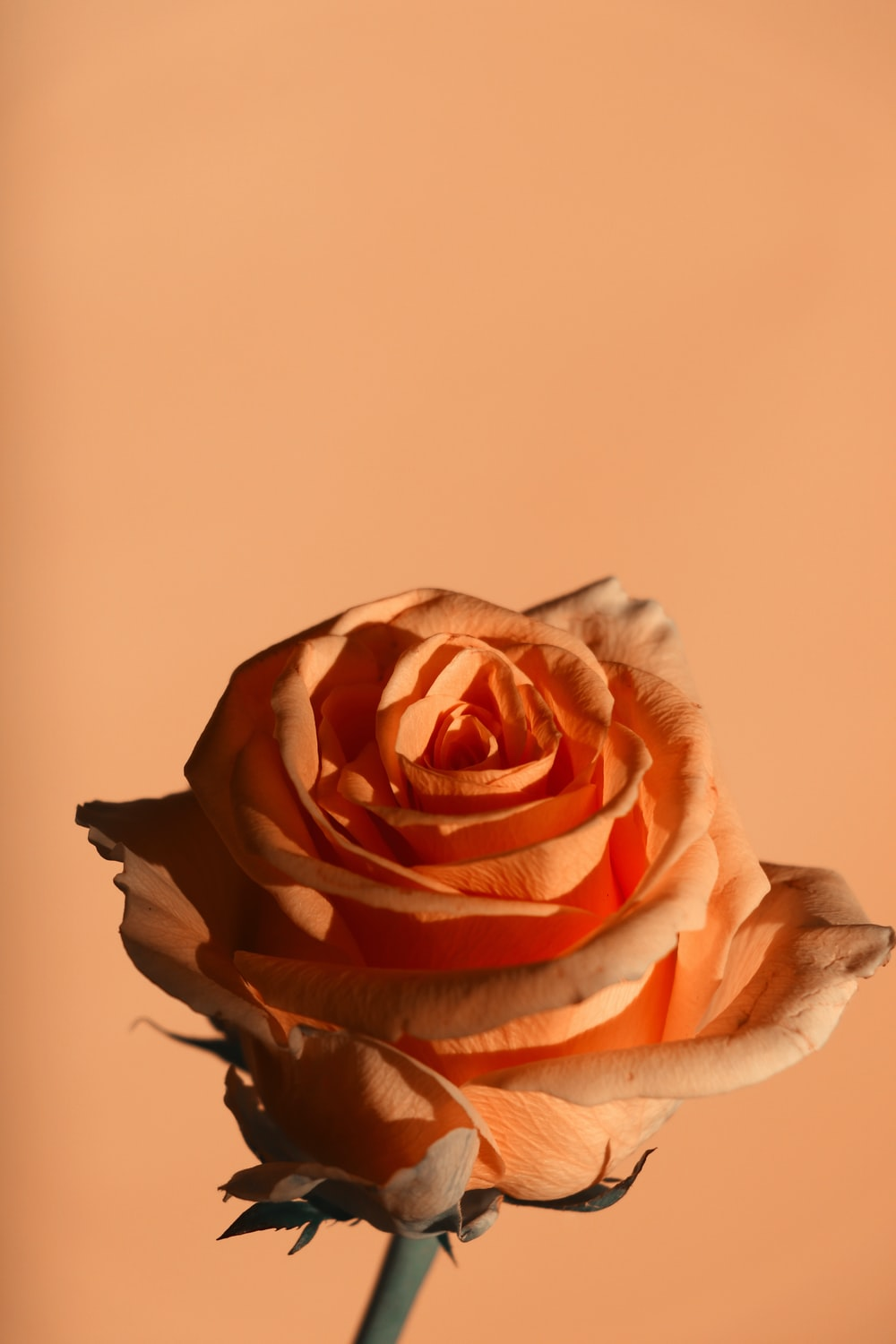 pink and white rose in close up photography