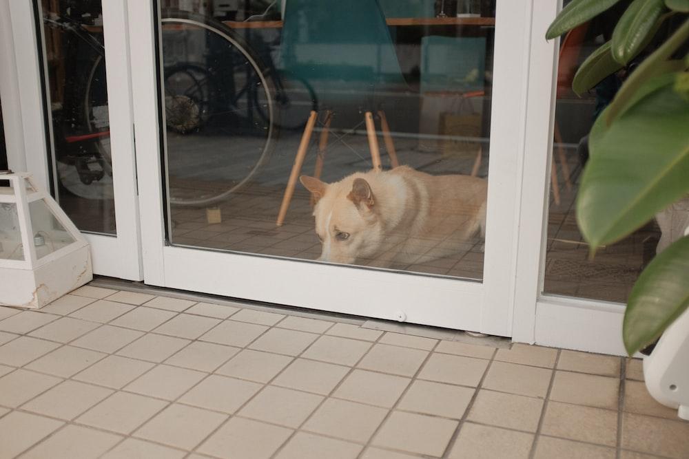 brown and white short coated dog on white ceramic floor tiles