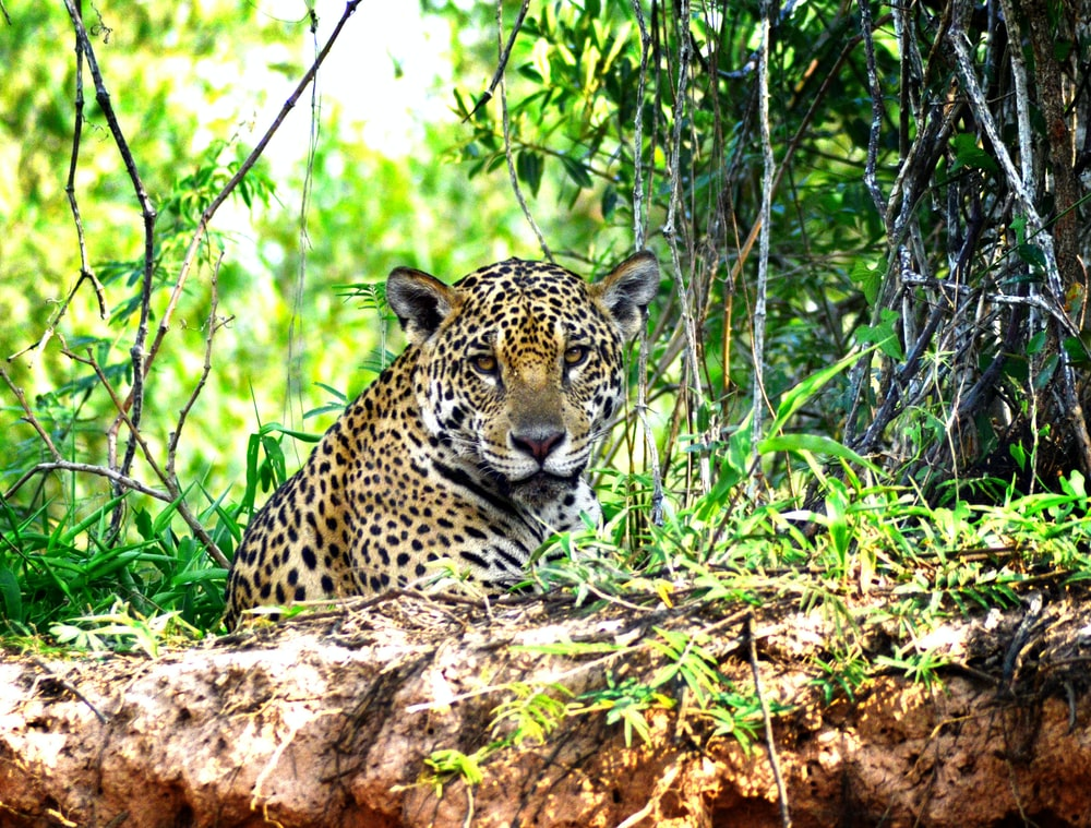 leopard lying on brown tree log during daytime