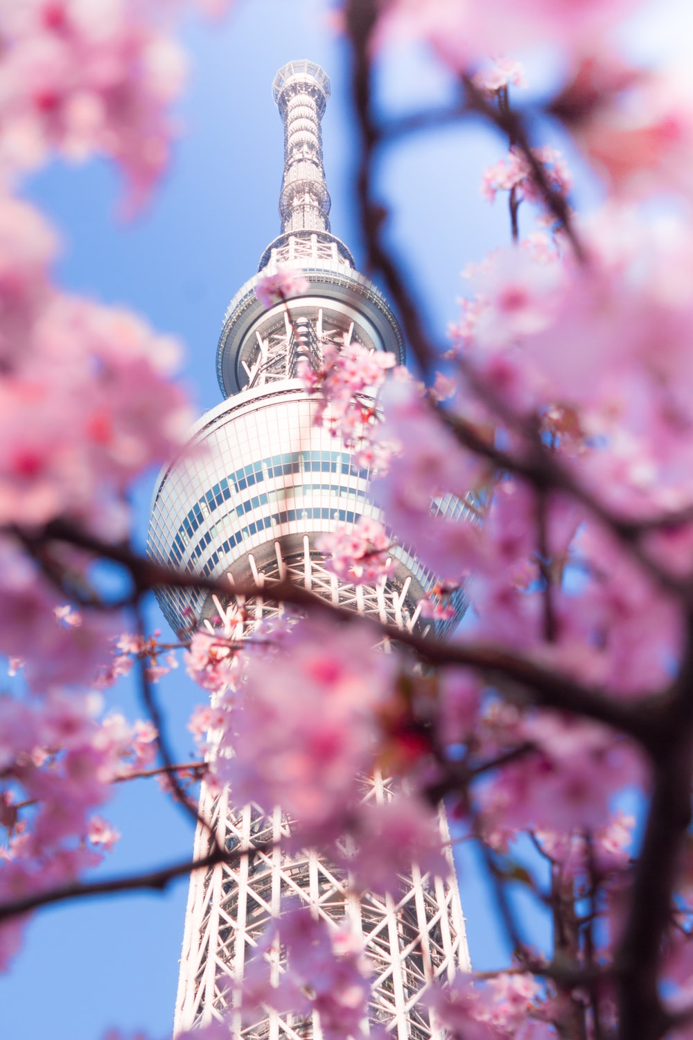 pink cherry blossom tree near white and blue tower during daytime