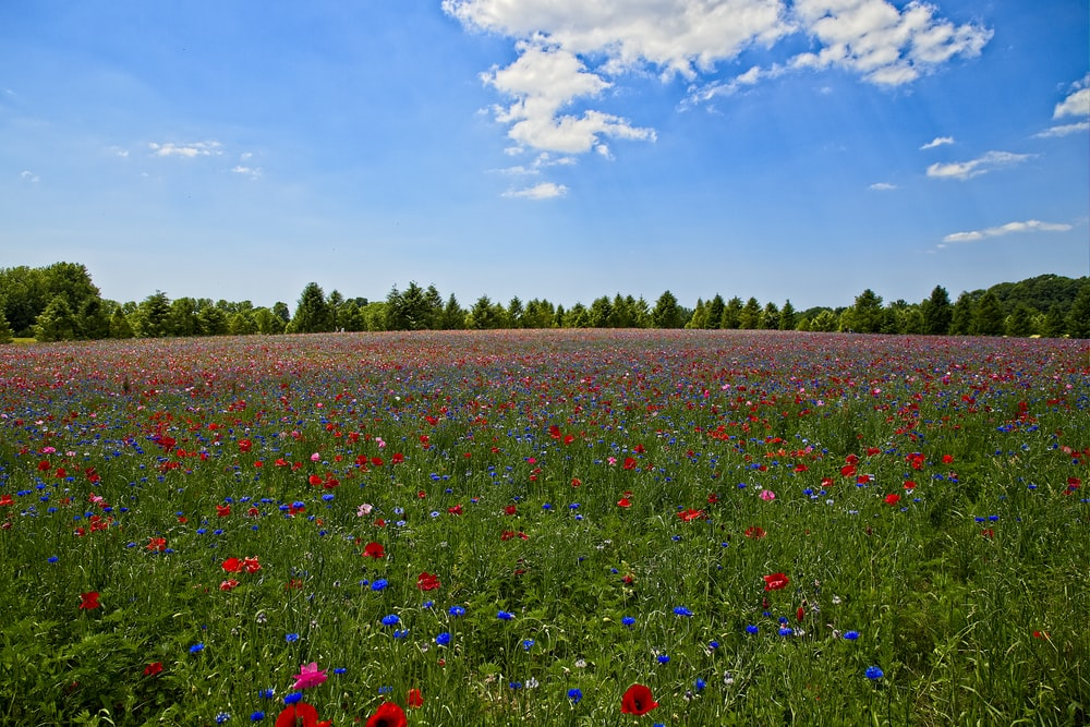 red blue and yellow flower field under blue sky during daytime