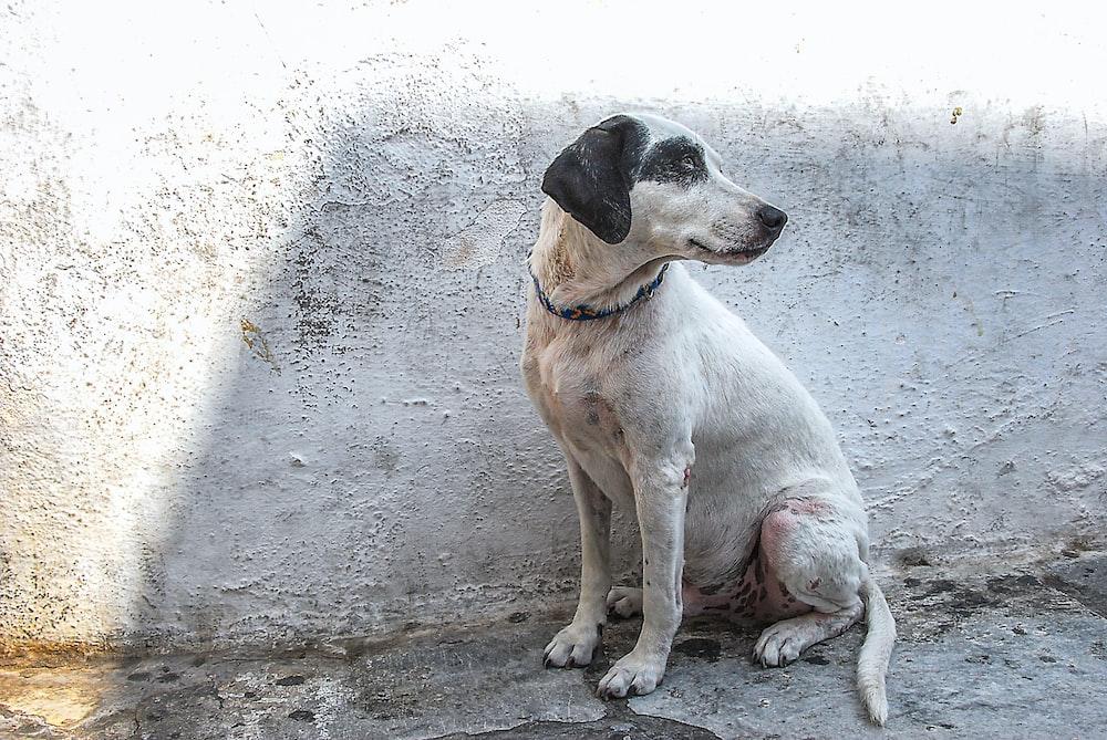white and black short coat medium sized dog