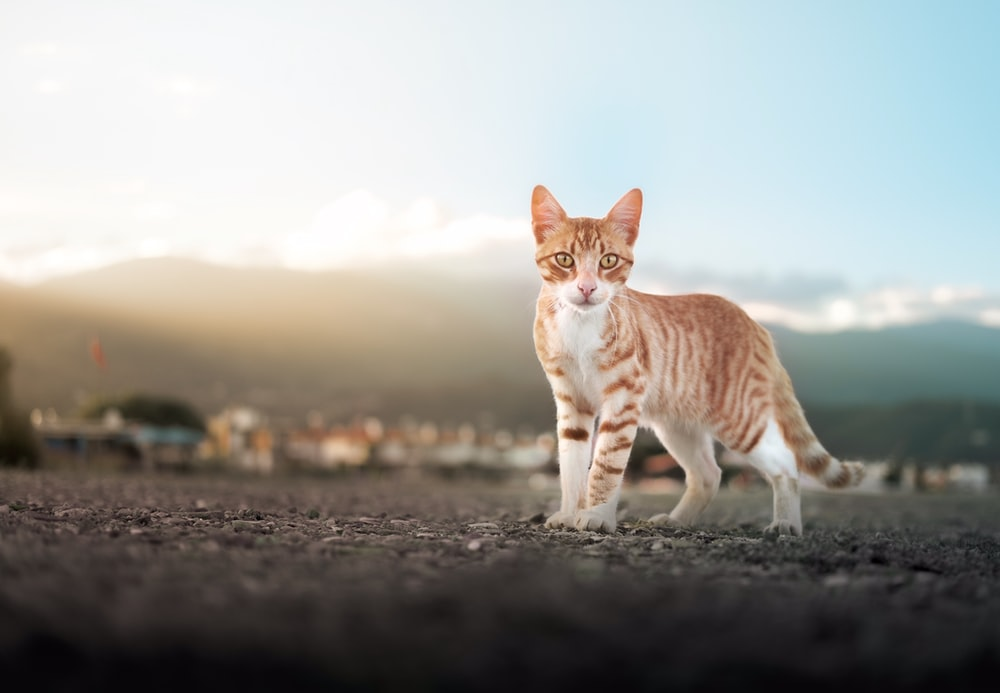 orange and white tabby cat on gray sand during daytime