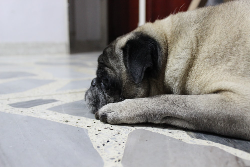 fawn pug lying on white and blue checkered textile