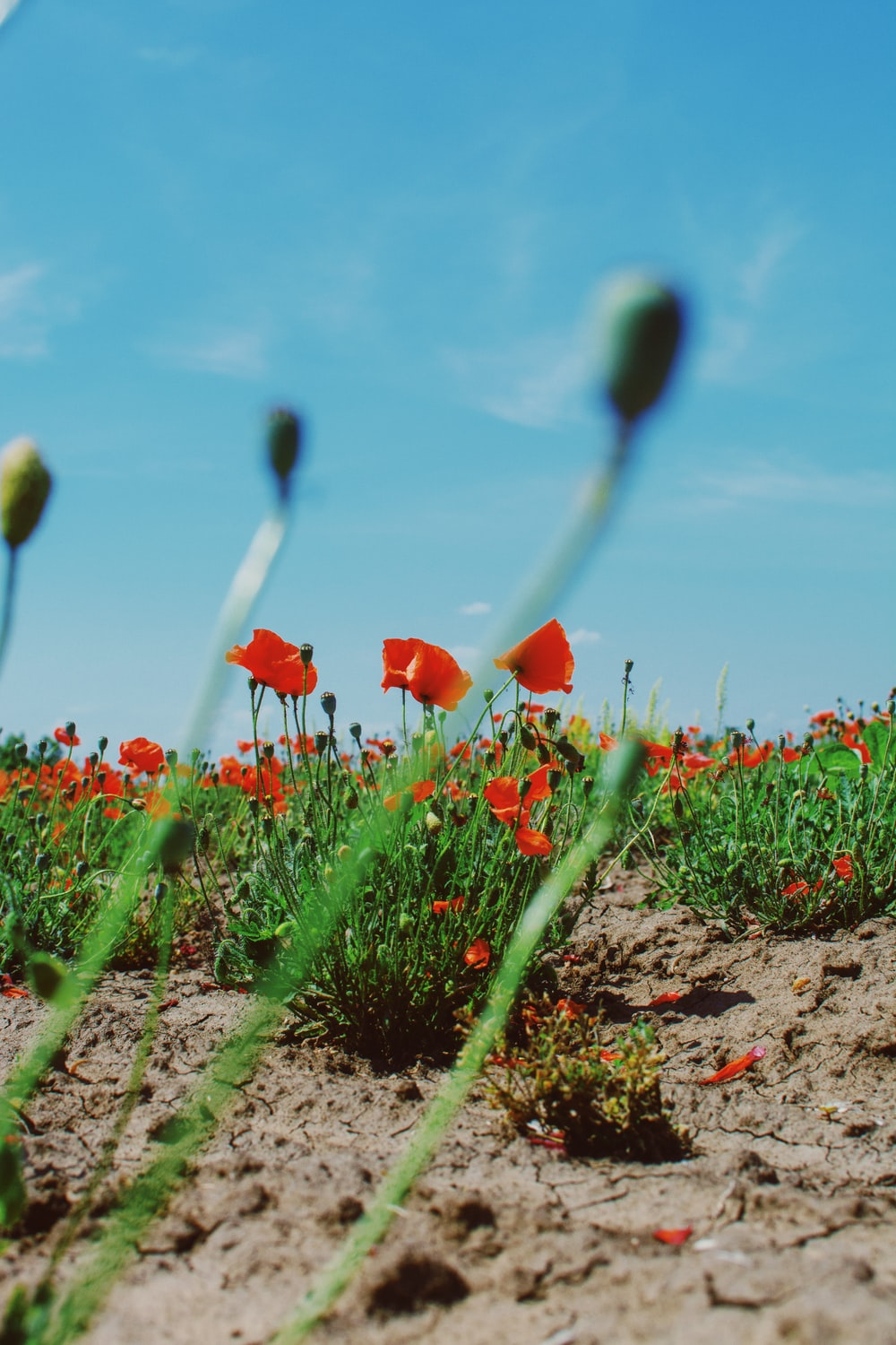 red flowers on brown soil during daytime