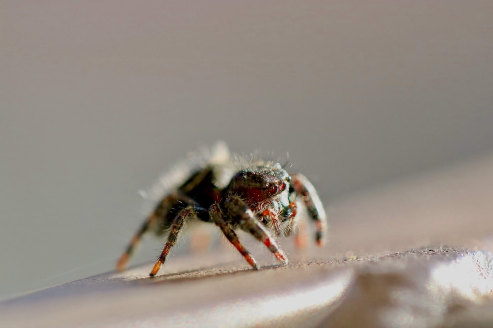 brown and black spider on white surface