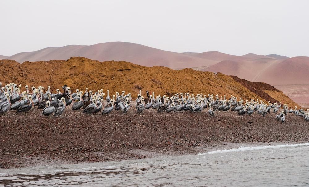 flock of penguins on brown sand during daytime