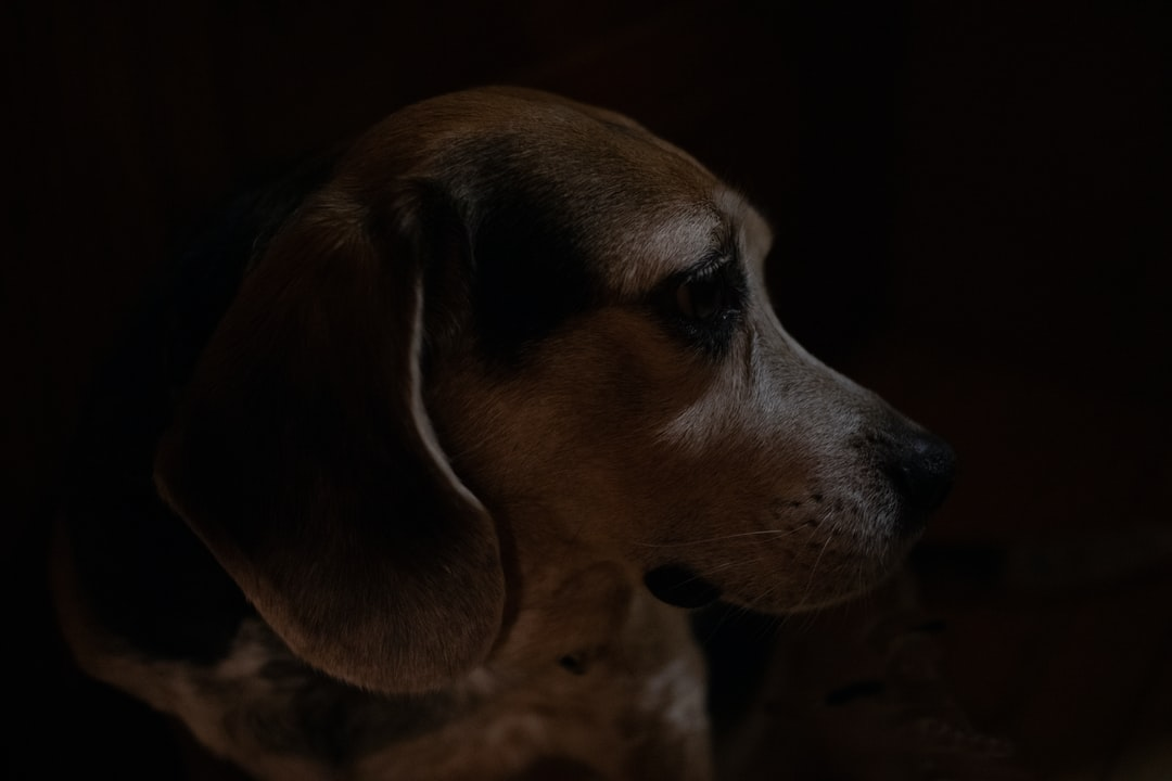 beagle looking to the right in deep shadow