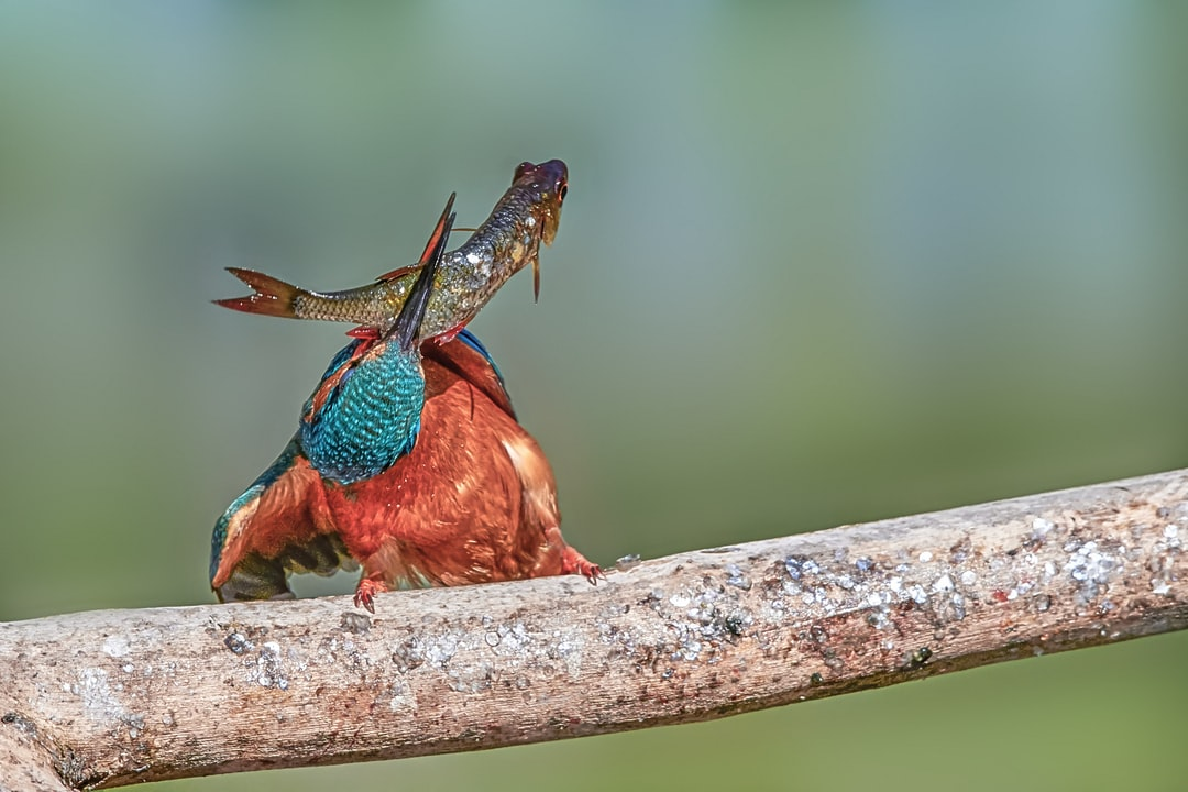 Kingfisher with prey