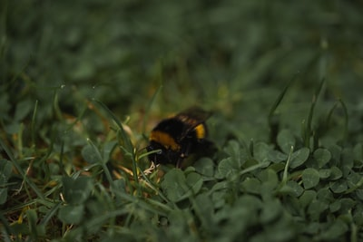 black and yellow bee on green grass during daytime
