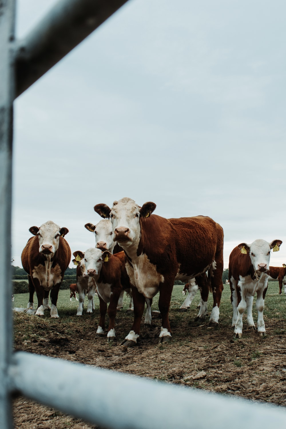 brown and white cow on field during daytime