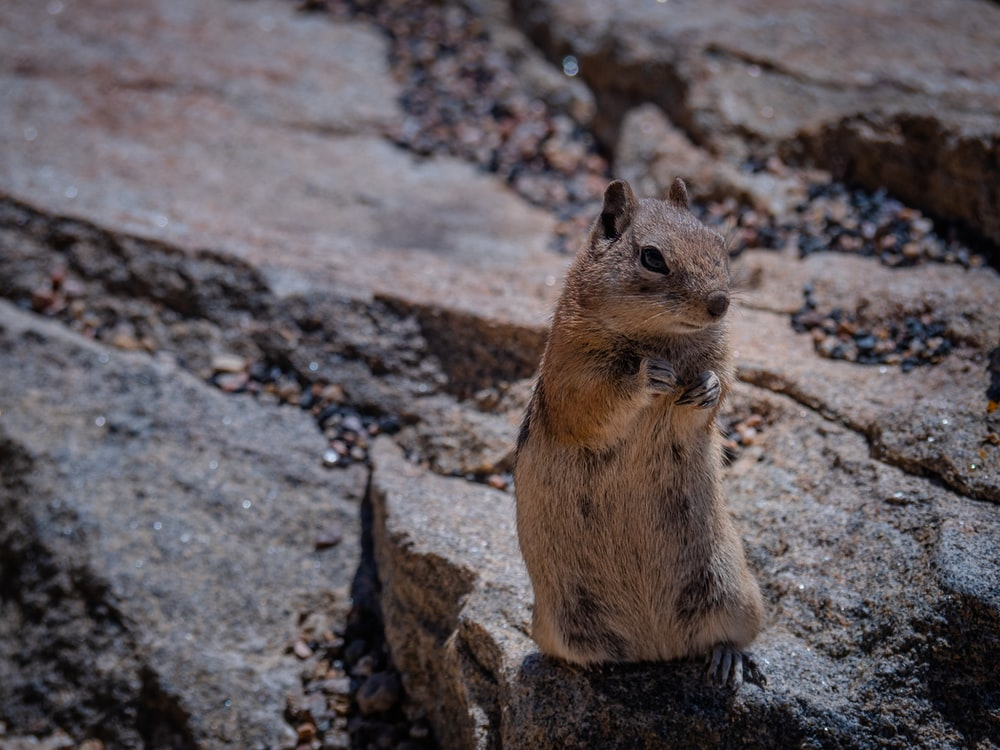 brown rodent on brown rock during daytime