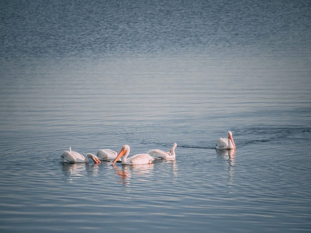 five white swans on water during daytime