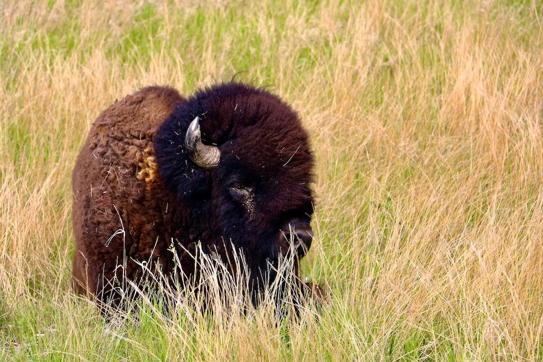 Bison in the Badlands