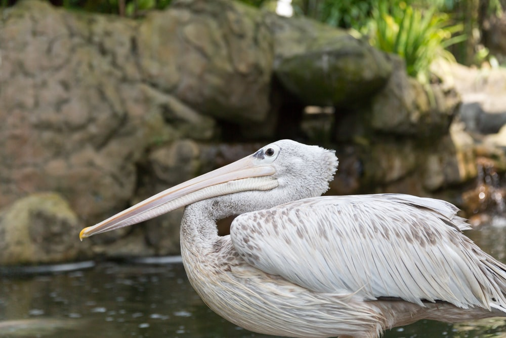 white pelican on body of water during daytime