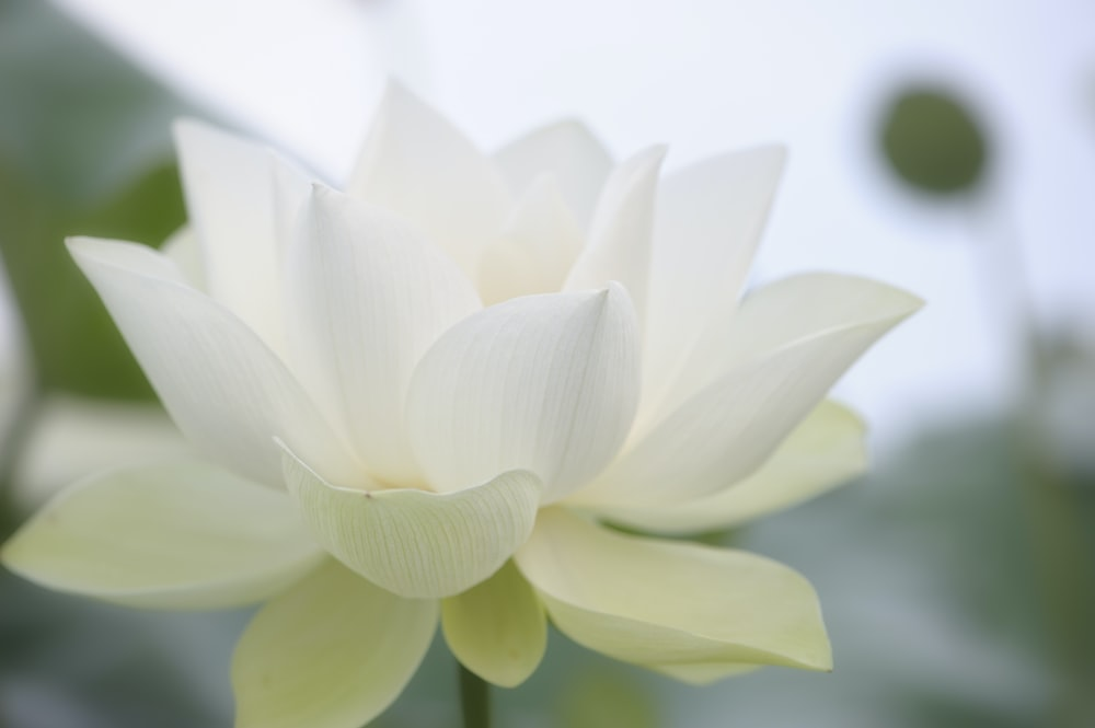 white lotus flower in bloom during daytime