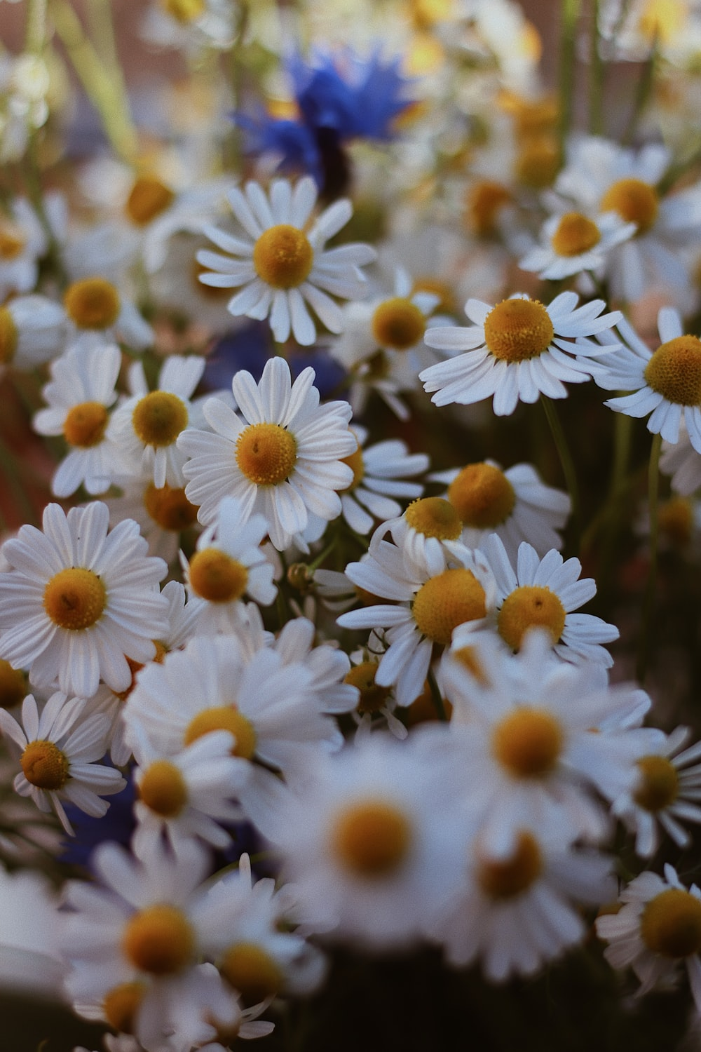 white and yellow daisy flowers