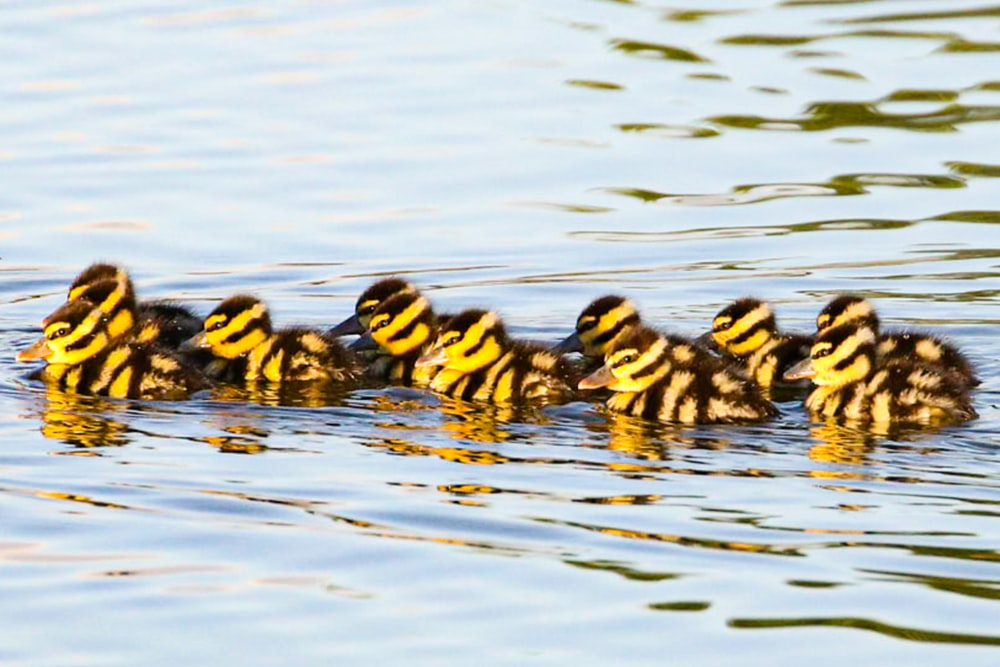 black and yellow ducklings on water