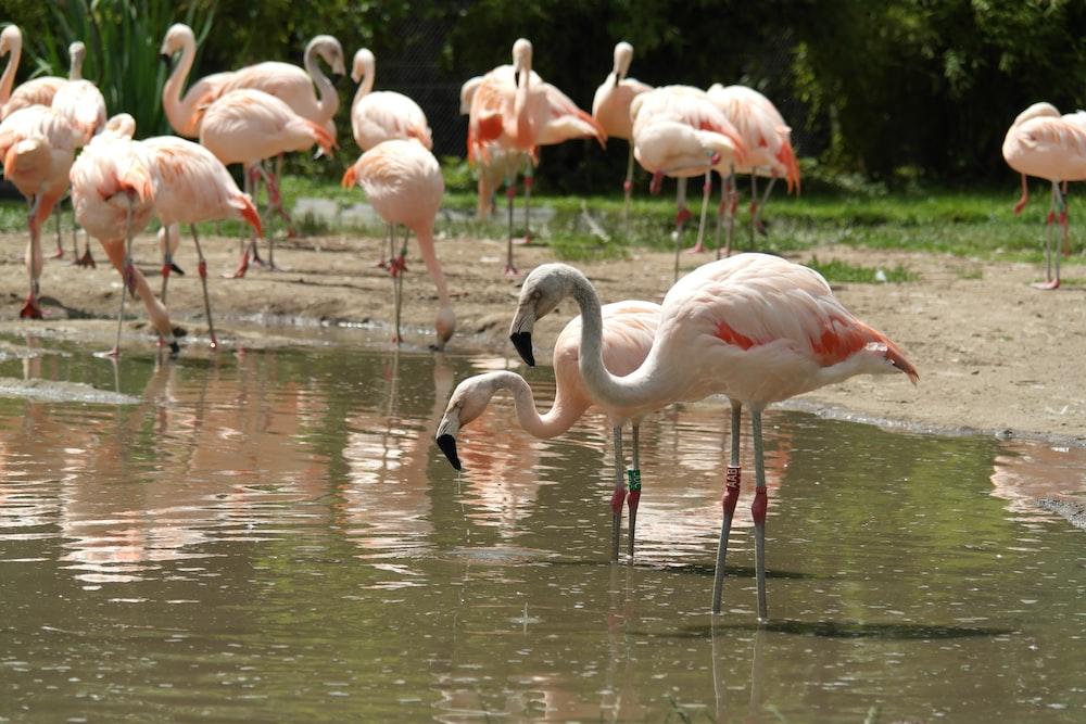 flock of flamingos on water during daytime