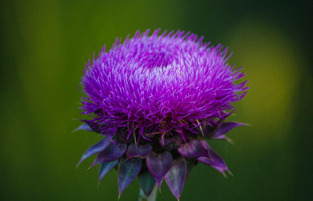 Emerging thistle bloom