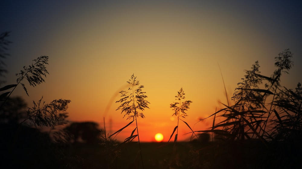 silhouette of grass during sunset