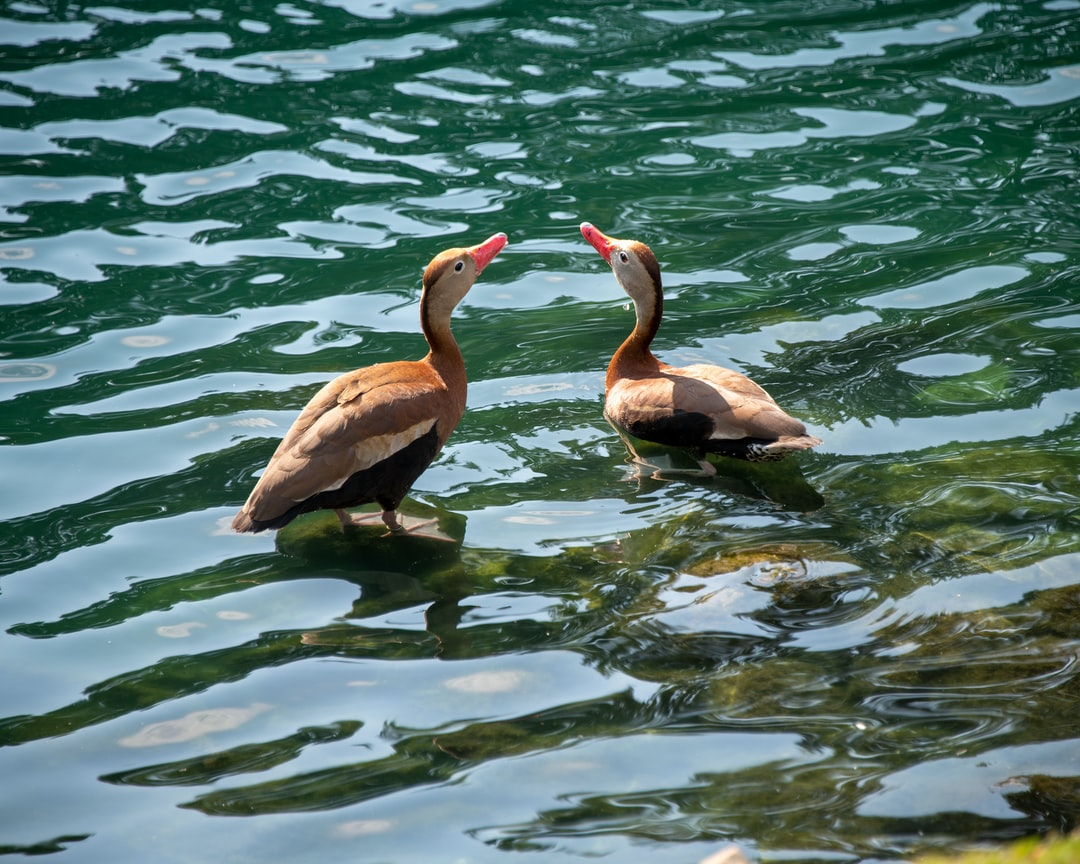 2 Black-bellied Whistling Ducks standing in a lake.