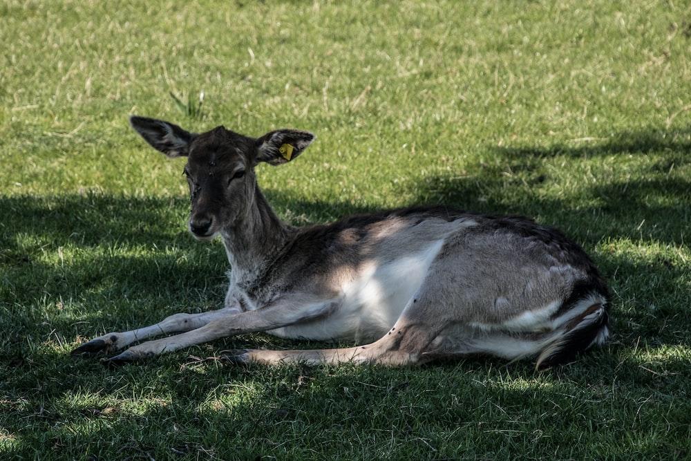 brown deer lying on green grass during daytime