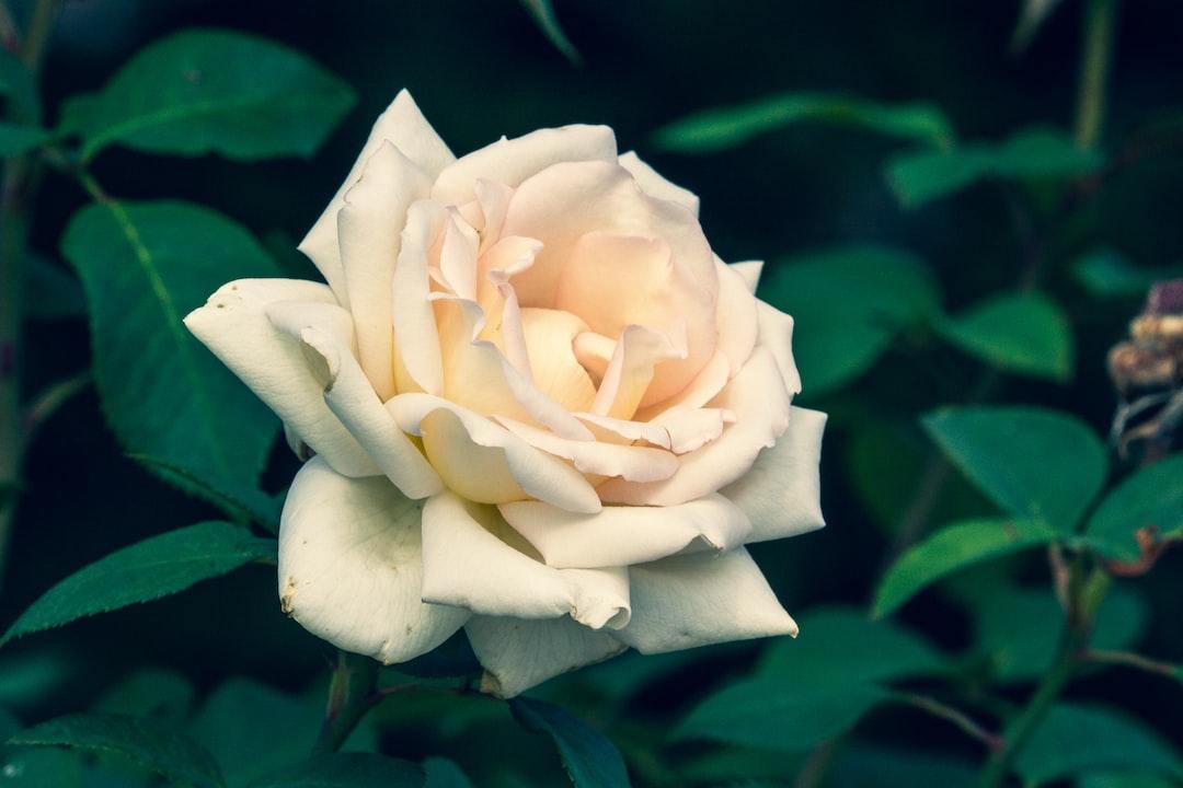 Charming white rose