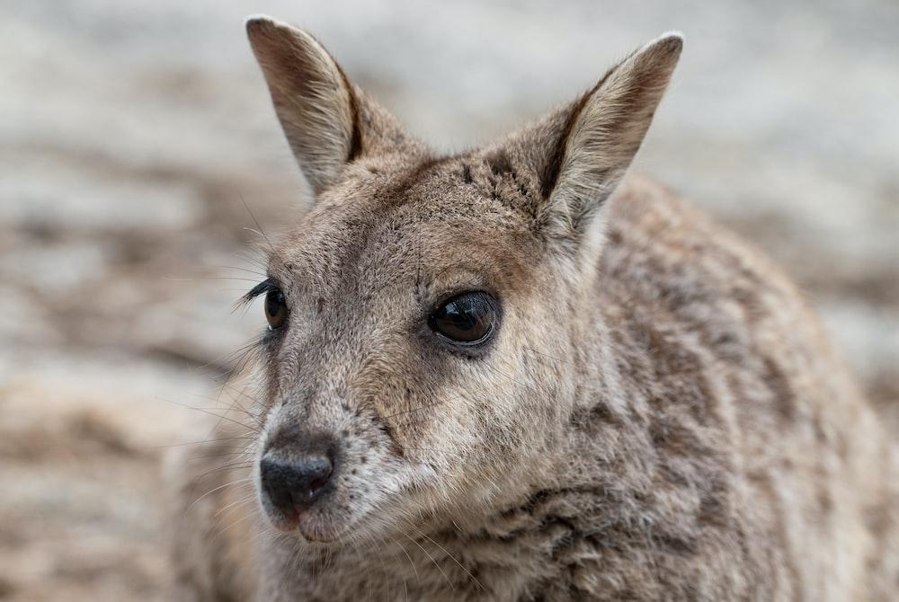 brown kangaroo in close up photography during daytime