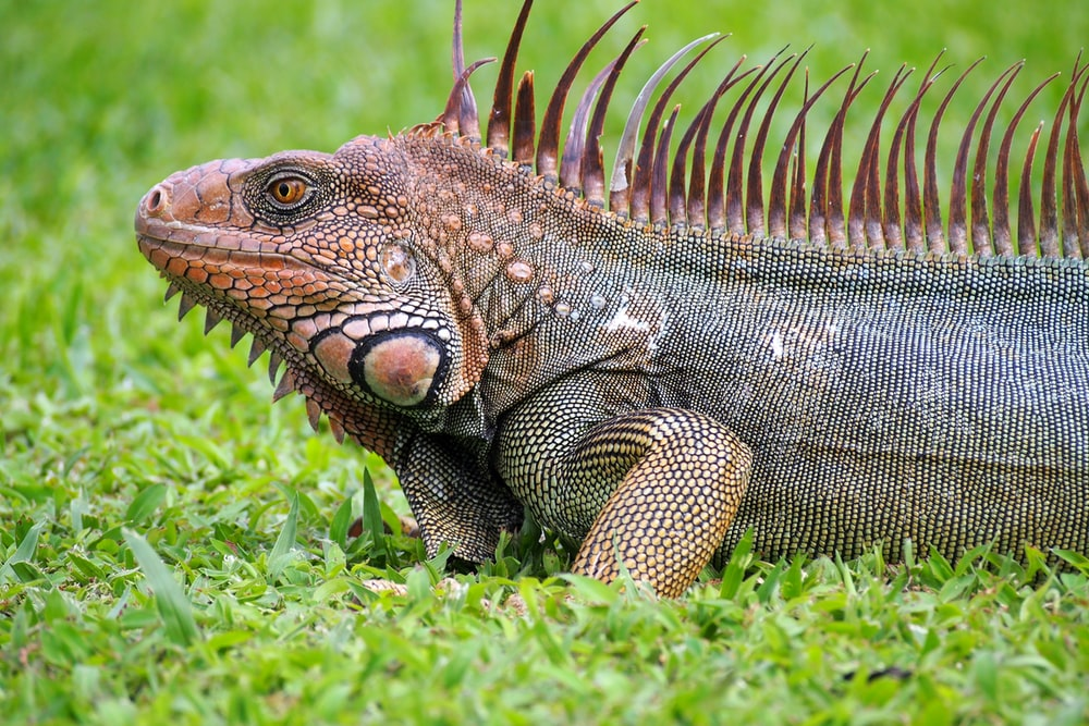 brown and black iguana on green grass during daytime