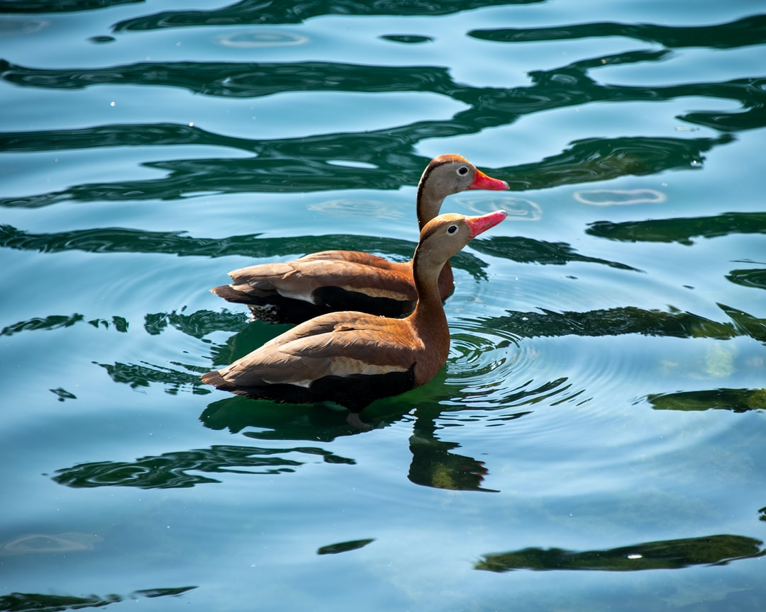 Black-bellied Whistling Ducks swimming together on a lake.