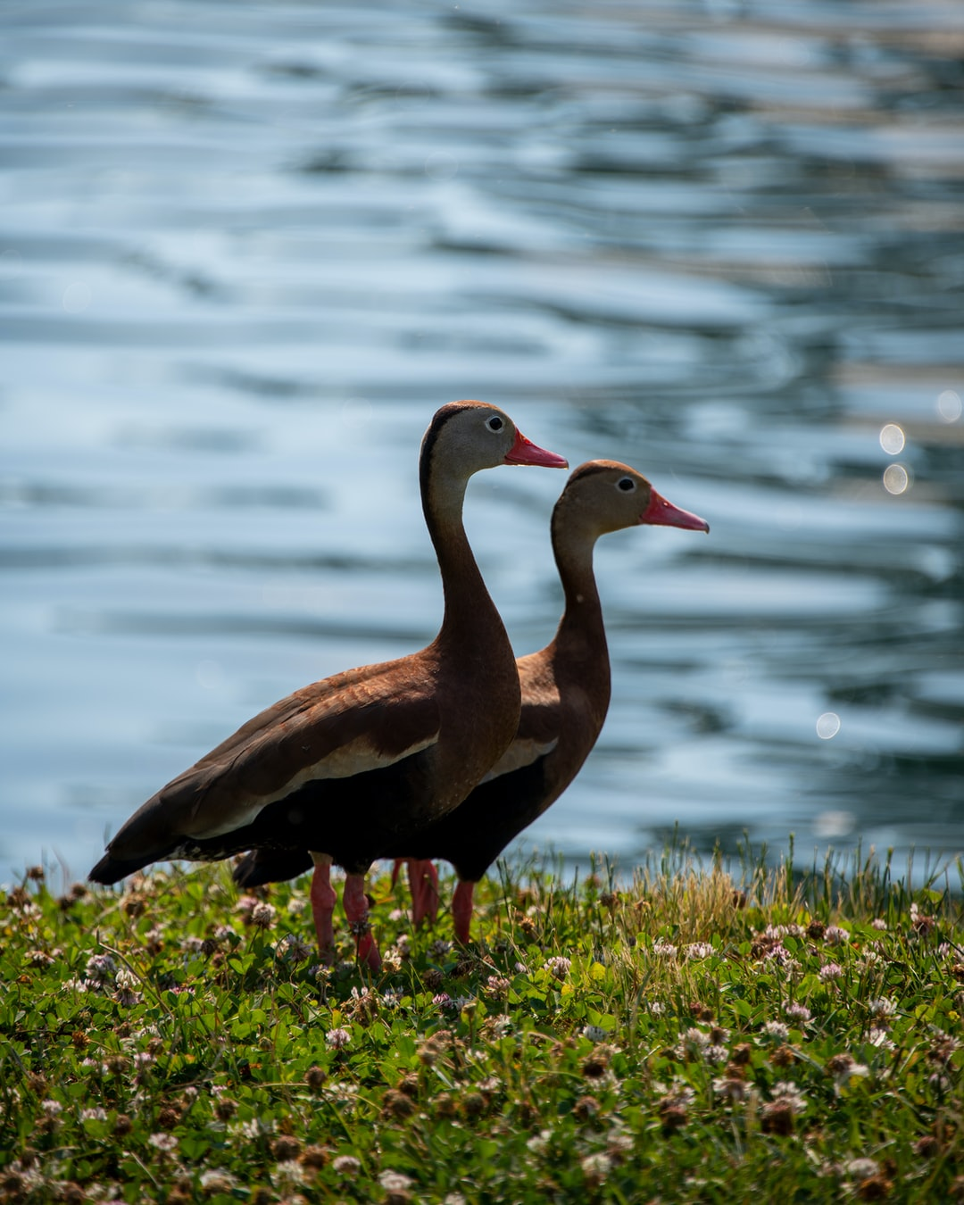 Black-bellied Whistling Ducks side by side at lake.