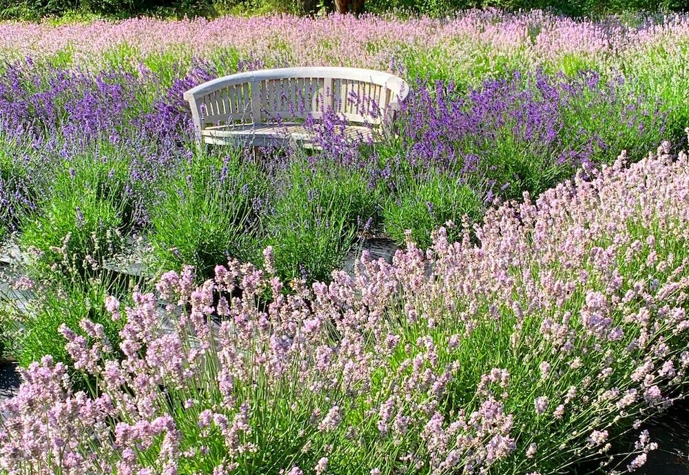 white metal bench on purple flower field during daytime