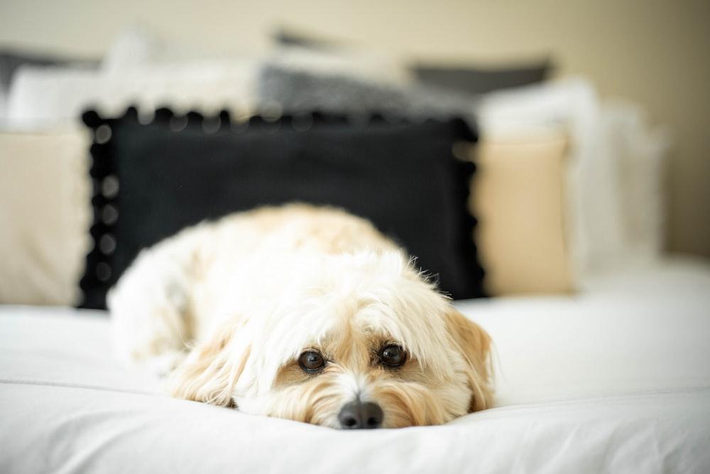white long coat small dog lying on white textile