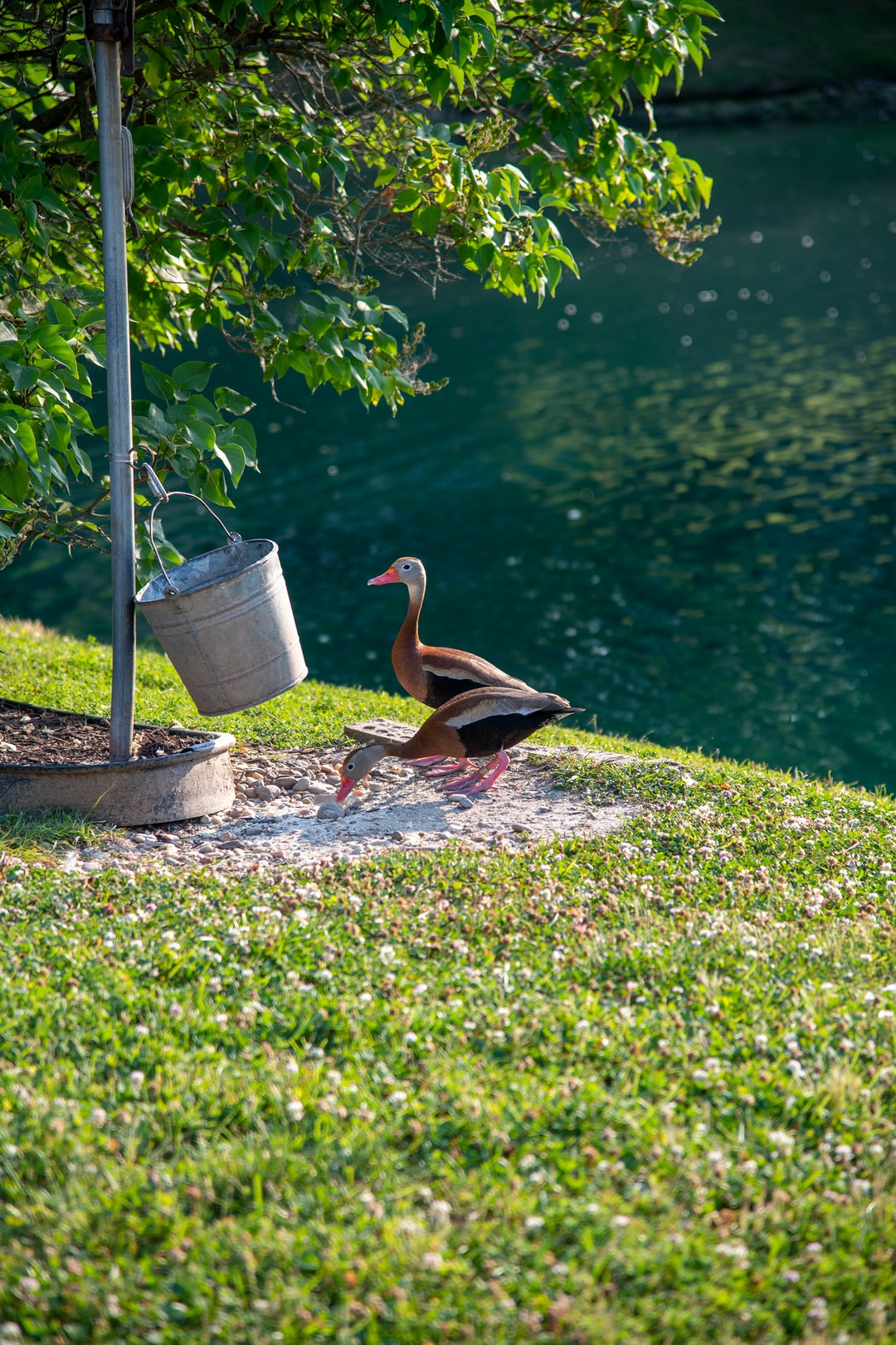 Black-bellied Whistling Ducks by feed bucket at lake.