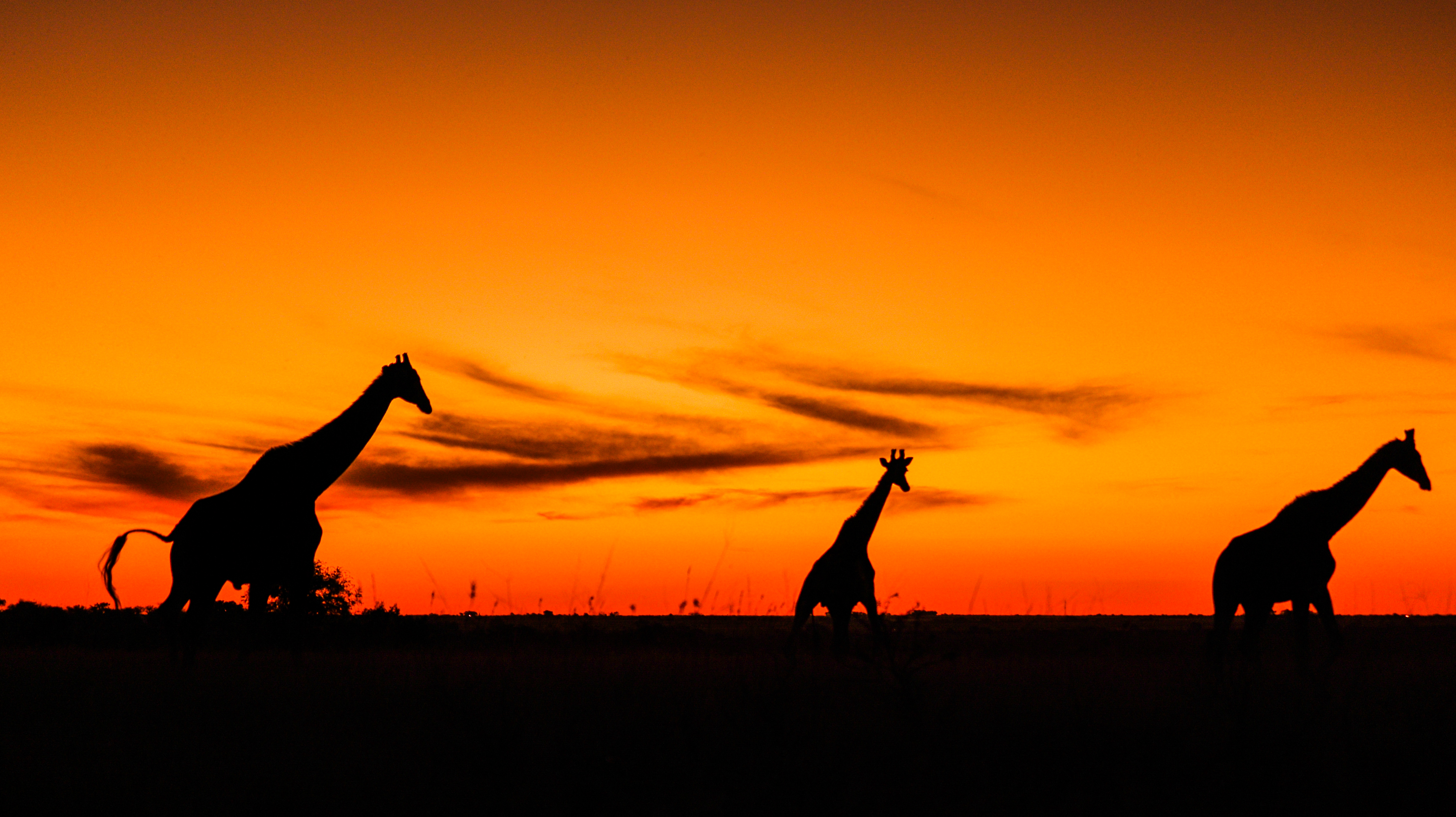 Giraffes and sunsets.