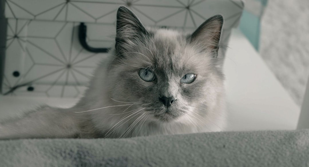 This is my beautiful cat Waffle, he's one year old and he is a Birman cat