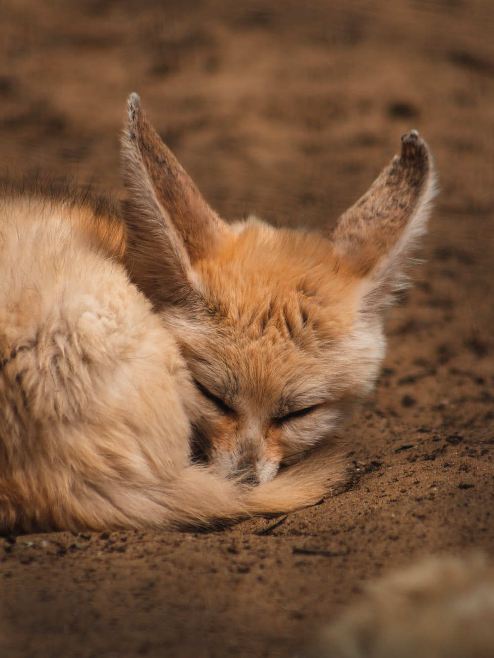 white and brown fox lying on brown sand during daytime