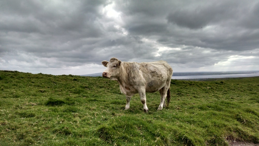 brown cow on green grass field under white clouds during daytime