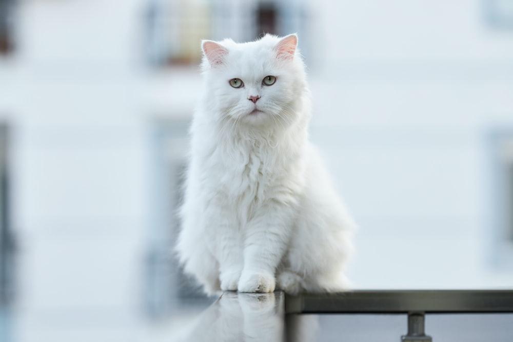 white cat on black wooden table