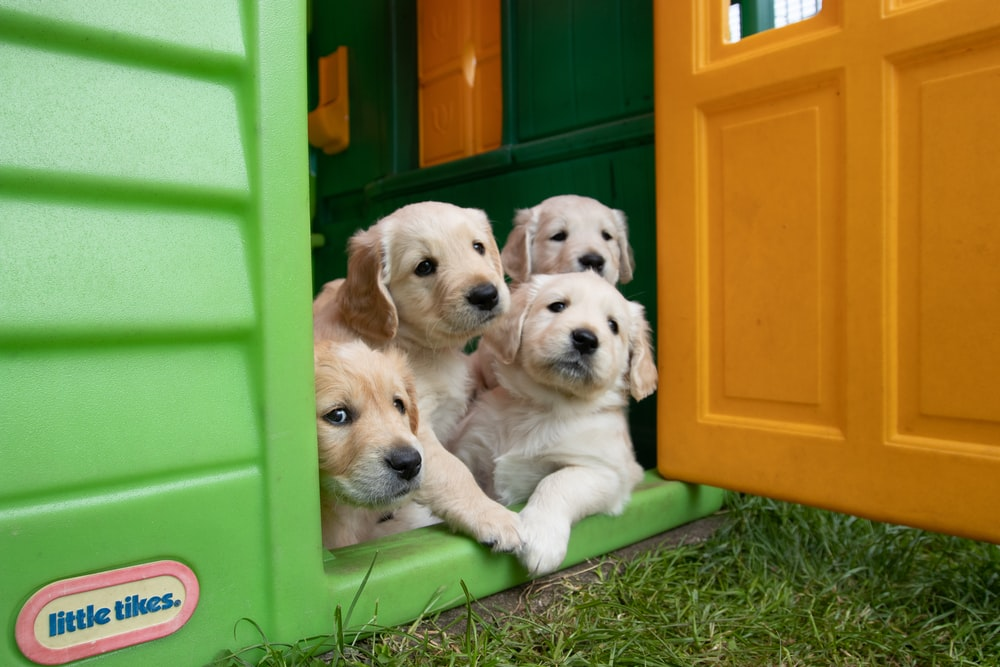 yellow labrador puppies in green plastic container