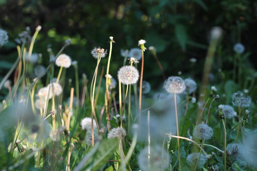 Dandelions - Summer in Helsinki