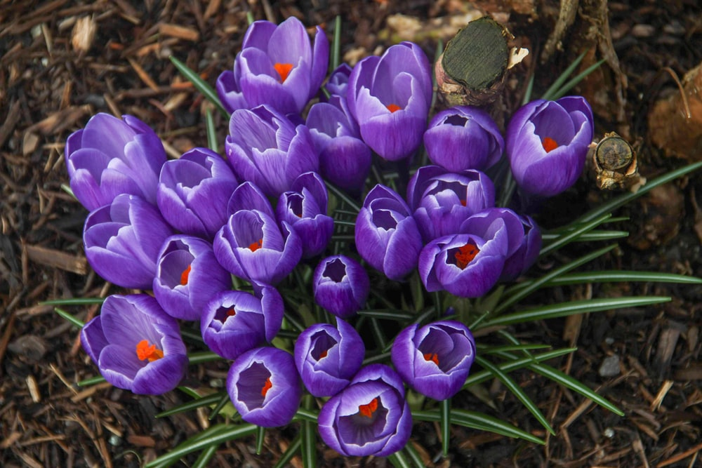 purple crocus flowers in bloom during daytime