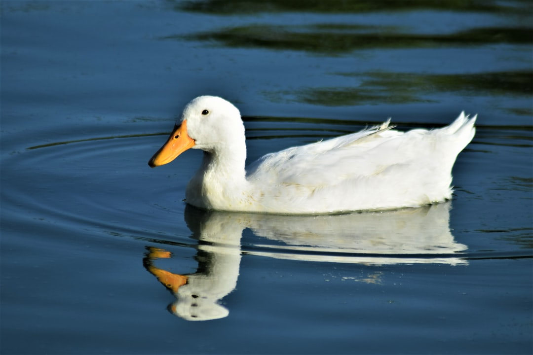 White duck on the water