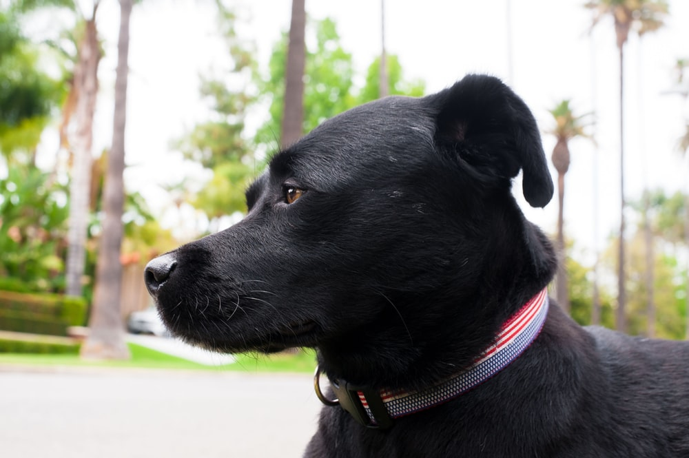 black short coat medium dog with red collar