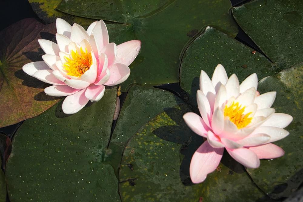 white and yellow lotus flower on water