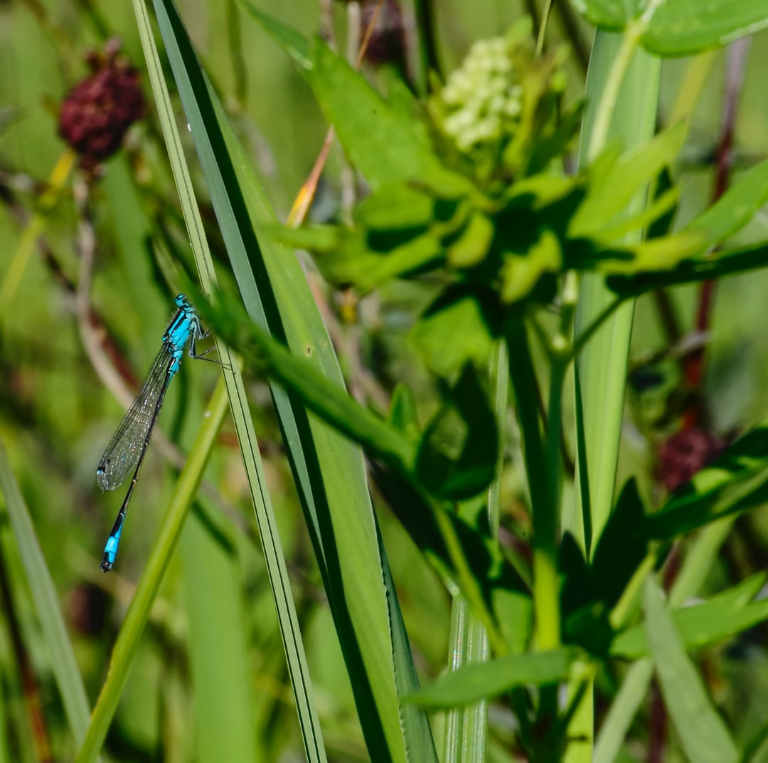banded damselfly ( Splendid dragonfly) Macro photography in free nature
