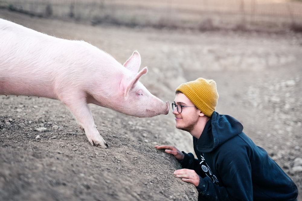 white pig with yellow knit cap