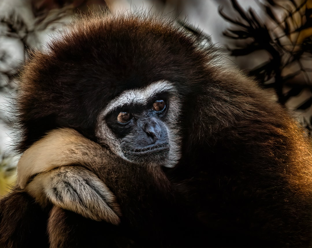 White Handed Gibbon ponders life locked up in a Zoo